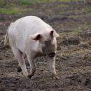 Астраханцев, державших во дворе свиней, оштрафовали после жалобы соседей