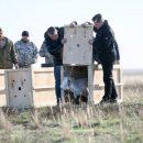 В астраханском природном заказнике «Степной» выпустили молодых сайгаков