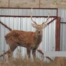В Астраханской области от стаи волков спасли пятнистого оленя
