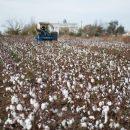 В Астраханской области возрождают хлопководство — губернатор