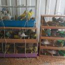 В Астрахань пытались ввезти на поезде сто волнистых попугаев