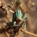 Астраханцев и волгоградцев призывают не опозориться на мундиале с саранчой