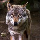 Астраханец застрелил волка, забравшегося в его двор