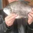 Астраханцы рассказали, что поймали в Ахтубе пиранью