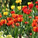 Астраханец отдал мошенникам 14 тысяч за тюльпаны для любимой