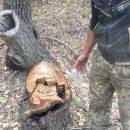 Жителям Астраханской области грозит реальный срок заключения за вырубку пяти ясеней