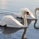 Что случилось с астраханскими лебедями, которых неизвестный подарил городу