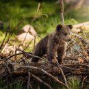 В Астрахани продолжают искать медвежонка, который все еще бродит по улицам