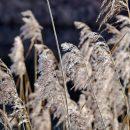 Россельхозцентр упрекнул власти Астрахани в отговорках от борьбы с тростником