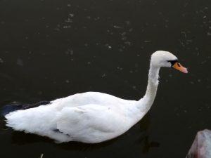 На Лебедином озере в Астрахани умер еще один лебедь