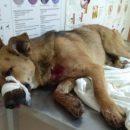 В Астрахани мужчина тяжело ранил собаку из травмата