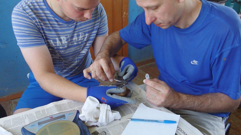 В Астрахани ученые отлавливали беременных летучих мышей