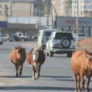 В Астраханской области коровы-беспризорницы влетят хозяевам в копеечку