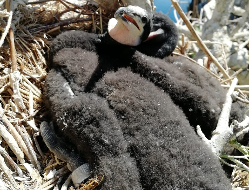 В Астраханском заповеднике взяли анализы у птенцов бакланов