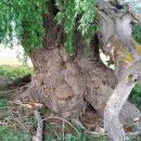 Дерево-гигант возрастом около 250 лет обнаружили в астраханском заповеднике