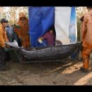 В Астрахани самкам осетра делают УЗИ